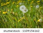 summer white dandelions in the... | Shutterstock . vector #1109156162