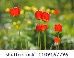 tulips on the flowerbed in... | Shutterstock . vector #1109167796