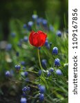 tulips on the flowerbed in... | Shutterstock . vector #1109167856