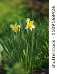 narcissus on the flowerbed in... | Shutterstock . vector #1109168426