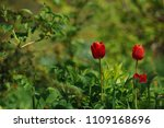 red tulips on the flowerbed in... | Shutterstock . vector #1109168696