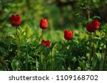 red tulips on the flowerbed in... | Shutterstock . vector #1109168702
