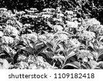 sepia colorful hydrangea...   Shutterstock . vector #1109182418