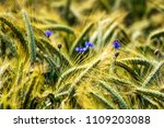 grain field close up | Shutterstock . vector #1109203088