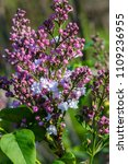 lilac of the species of ... | Shutterstock . vector #1109236955