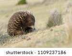 echidnas sometimes known as... | Shutterstock . vector #1109237186