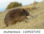 echidnas sometimes known as... | Shutterstock . vector #1109237192