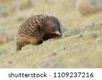 echidnas sometimes known as... | Shutterstock . vector #1109237216