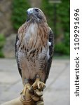 red tail hawk | Shutterstock . vector #1109291696