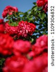 Small photo of red roses on sunny sky background. Foreground defocus