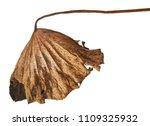 Dried Lotus Foliage  Leaf Of...