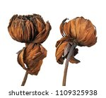 Dried Lotus Flower Tropical Flowers - Fine Art prints