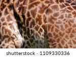 the giraffe skin  giraffa...   Shutterstock . vector #1109330336