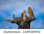 a rock kestrel  falco rupicolus ...   Shutterstock . vector #1109330942
