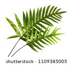 Wart Fern Leaf  Ornamental...