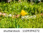 yellow tulip on a flowerbed in... | Shutterstock . vector #1109394272