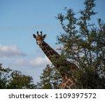 giraffe or giraffa  peeking out ...   Shutterstock . vector #1109397572