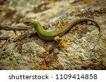lizard on stone in sunny... | Shutterstock . vector #1109414858