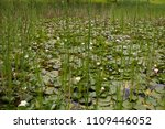 A Pond With Cattail Reeds And...