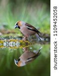 The Hawfinch  Coccothraustes...
