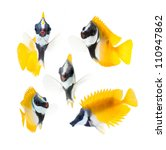 Reef Fish  Yellow Fox Face...