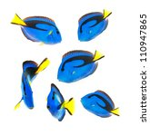 Reef Fish  Blue Tang