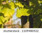 ginkgo biloba close up | Shutterstock . vector #1109480522