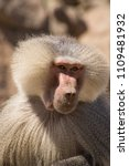 baboons in the wild | Shutterstock . vector #1109481932