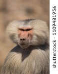 baboons in the wild | Shutterstock . vector #1109481956