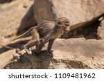 baboons in the wild | Shutterstock . vector #1109481962