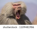 baboons in the wild | Shutterstock . vector #1109481986