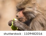 baboons in the wild | Shutterstock . vector #1109482016