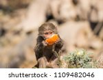 baboons in the wild | Shutterstock . vector #1109482046