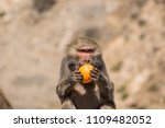 baboons in the wild | Shutterstock . vector #1109482052