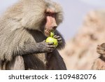 baboons in the wild | Shutterstock . vector #1109482076