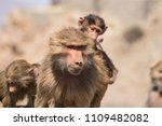 baboons in the wild | Shutterstock . vector #1109482082