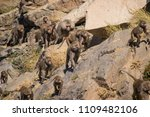 baboons in the wild | Shutterstock . vector #1109482106