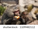 baboons in the wild | Shutterstock . vector #1109482112