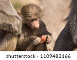 baboons in the wild | Shutterstock . vector #1109482166