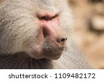 baboons in the wild | Shutterstock . vector #1109482172