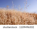 close up of dry mellow yellow... | Shutterstock . vector #1109496332
