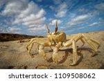 Crab   ocypode cursor with his...