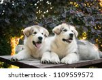 Stock photo two happy alaskan malamute puppies posing together super cute puppies posing 1109559572