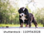 Stock photo bernese mountain dog puppy outside so cute and small bernese puppy 1109563028