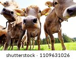 curious young brown cattle on... | Shutterstock . vector #1109631026