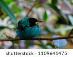 male green honeycreeper | Shutterstock . vector #1109641475