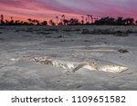 a pregnant sharpnose  shark...   Shutterstock . vector #1109651582