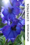 Blue Delphiniums In Delicate...