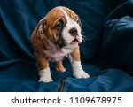 english bulldog female puppy... | Shutterstock . vector #1109678975