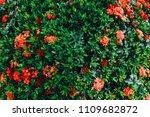 red flower spike and green... | Shutterstock . vector #1109682872